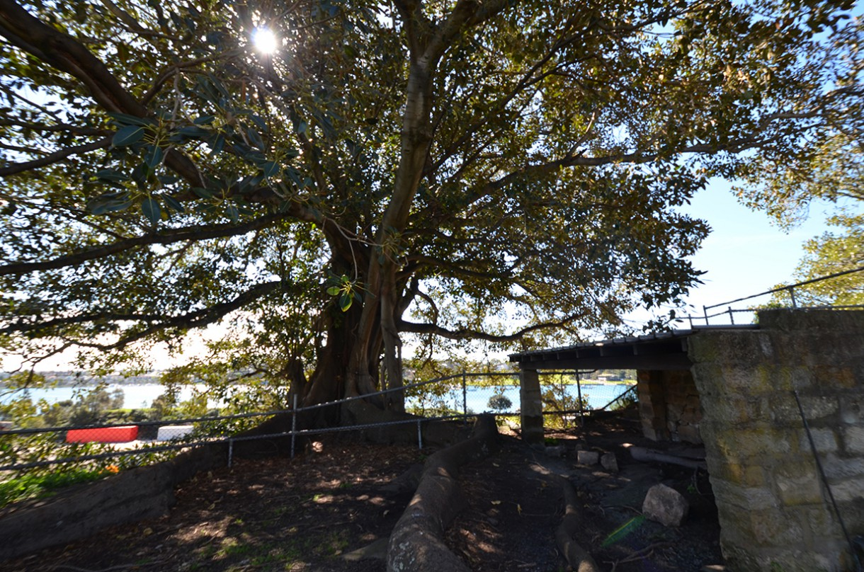 The Morton Bay fig tree that housed so many bats